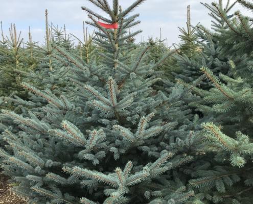 Weihnachtsbaum in Kultur | Stoll
