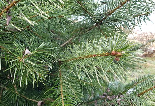 Weihnachtsbaum-Arten - Nordmanntanne