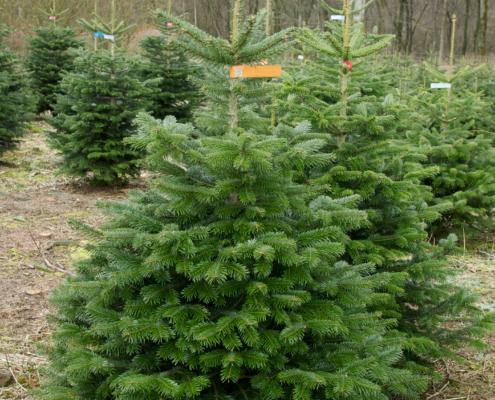 Weihnachtsbaum pflege