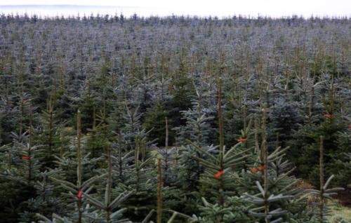 © VNWB | Verband natürlicher Weihnachtsbaum